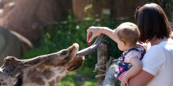 A Person Feeding A Giraffe At A Zoo